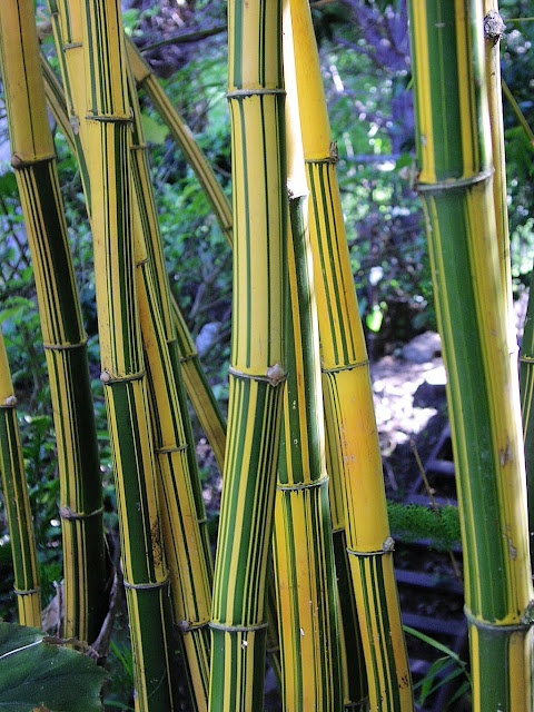 beautiful bamboo  vulgaris vittata bamboo can be picture for bathrooms arts picture frames for bathroom