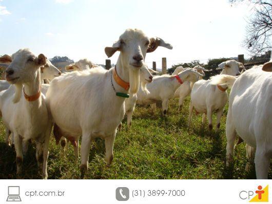 Cabras - saiba tudo sobre elas e inicie sua criação