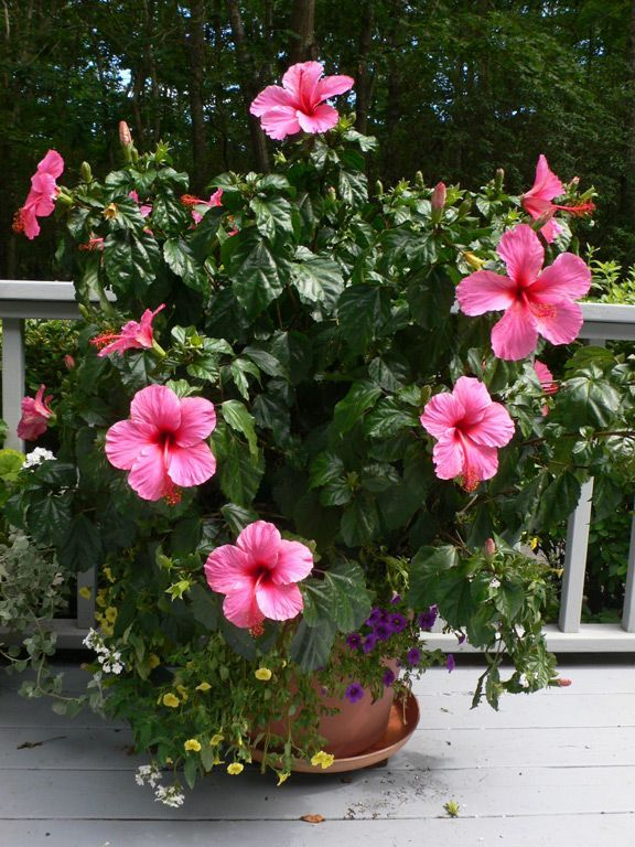 Hybiscus My Favorite Flower Reminds Me Of My Favorite Place In The World The Islands Hibiscus Plant Container Flowers Flower Pots