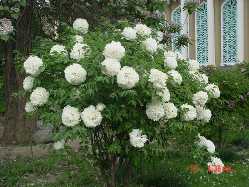 大牡丹 - Paeonia Rockii,Gansu Peony,China.   ROCKII Tree Peony Plants,Japanese Peony,HERBACEOUS Peony ,Cinese Tree Peony,Peony Plants,Peony Shrub