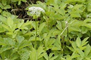 skvalderkål Aegopodium podagraria- healing plante, masser af c vitamin. lav omslag for ledsmerter