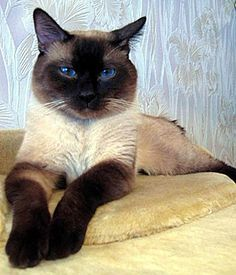 """I love these traditional siamese cats, sometimes called """"Thai cat…"""