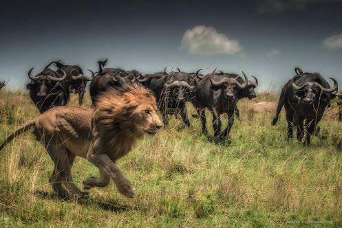 буйвол - Самое интересное в блогах