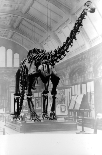 how tall is diplodocus carnegii