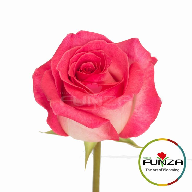 Bicolor Pink Rose from Flores Funza. Variety: Verdi, Availability: Year-round