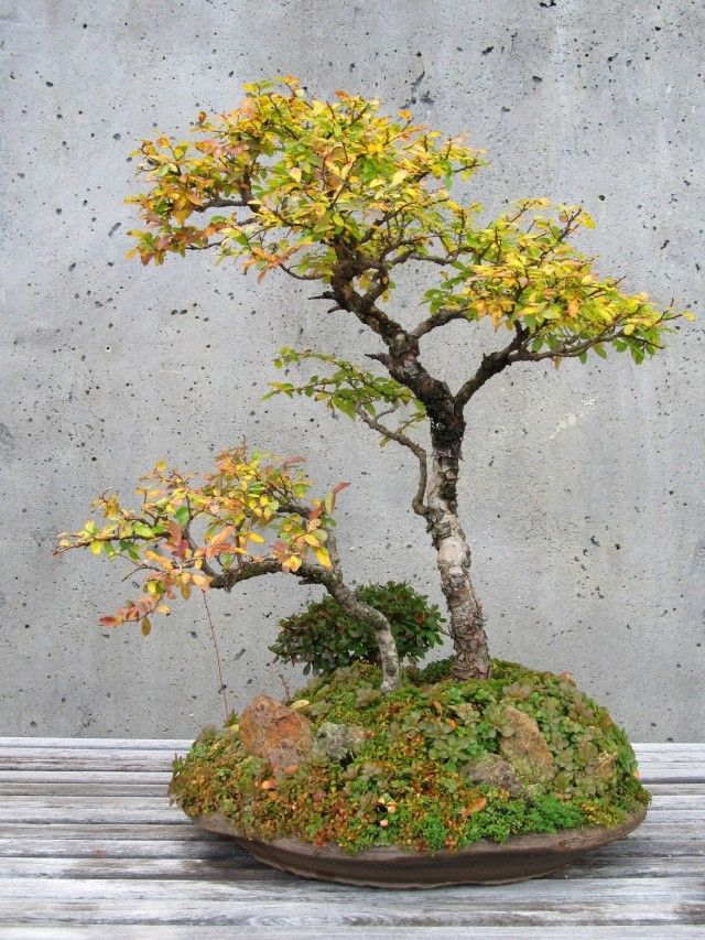 67 Best Images About Bonsai On Pinterest Maple Bonsai Trees And Bonsai Trees