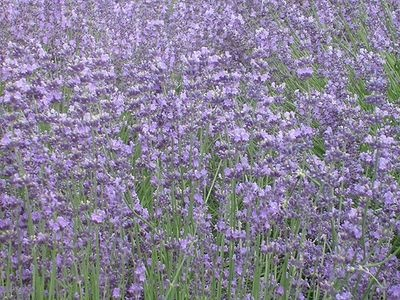 How to Grow English Lavender (This is the best lavender bush to grow in Marshall) thumbnail