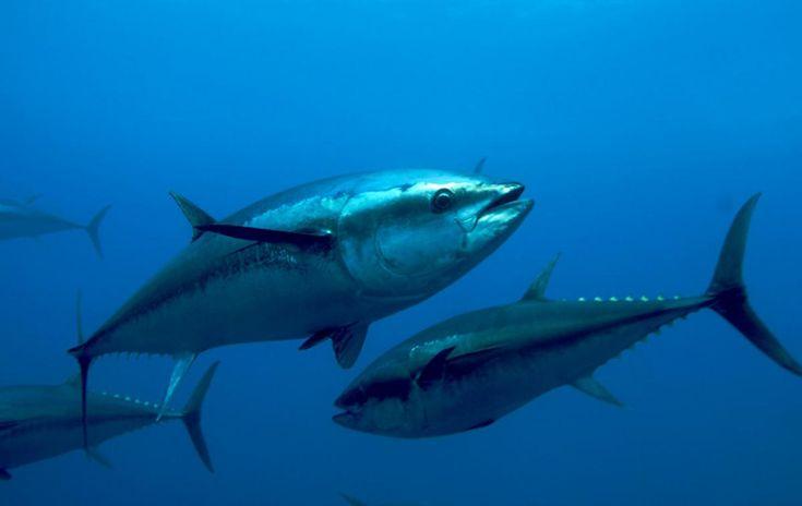 Atlantic Bluefin Tuna   Oceana - Keith Ellenbogen