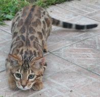 Chatterie ambaji bengal - Elevage de chats bengal