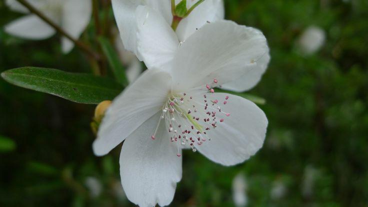 australian flowers - Recherche Google