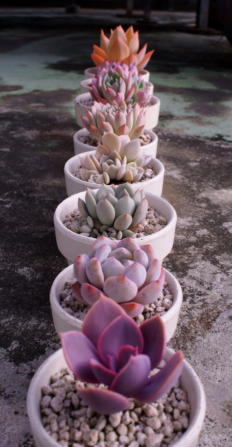 colorful succulents - love this idea for a tablescape at an afternoon lunch