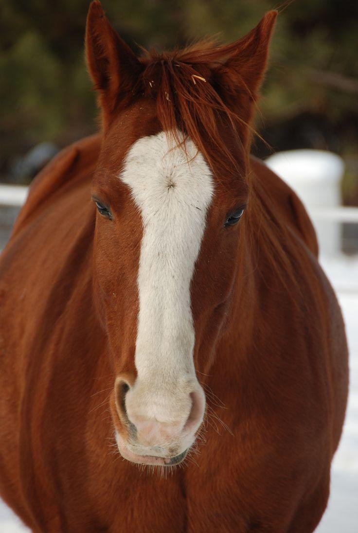 Blaze 11 Year Old Chestnut Sorrel Quarter Horse