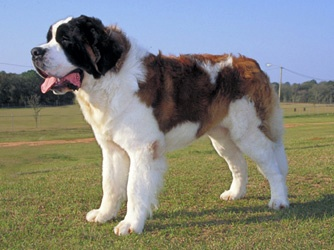 St. Bernard st. bernards are also known as gentle giants and this decribes them perfectly. they are extremely sweet, they also are hudge.they come in long hair, or short hair, and dry mouth and wet mouth.they live on average of 8 or so years FUN FACT: they can smell a human burried under 20 feet of snow!! ive grown up with these gentle giants