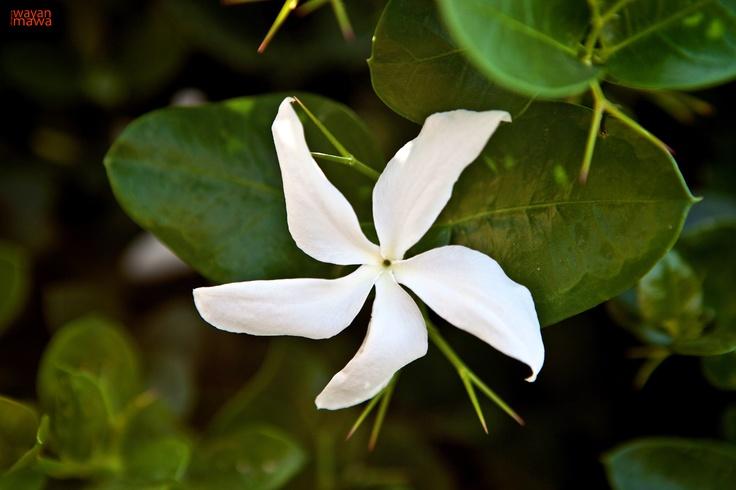 Five Petals White Flower Garden Pinterest White