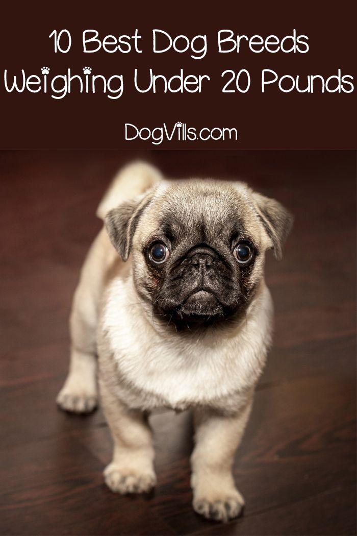 Top 10 Best Dog Breeds Weighing Under