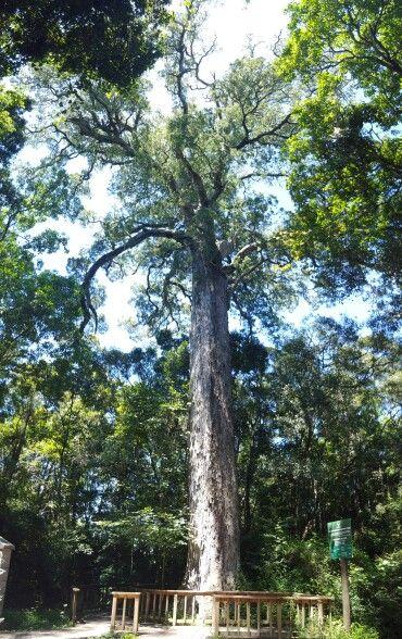 """Big Tree """" circles in the forest"""" Knysna #exploreknysna #gardenroute @gotravelbug photo"""