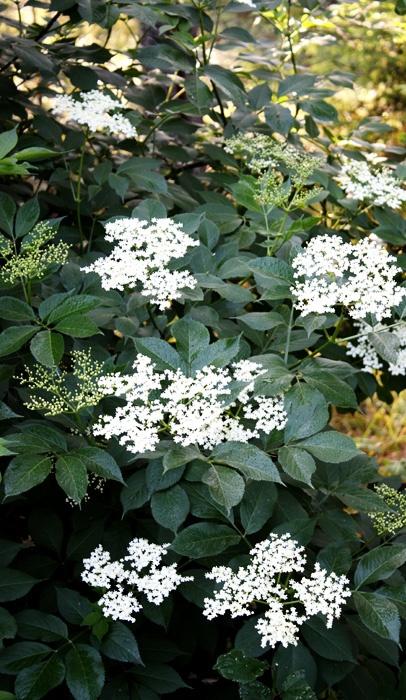 Black Elder, Sambucus nigra, I like this shrub.
