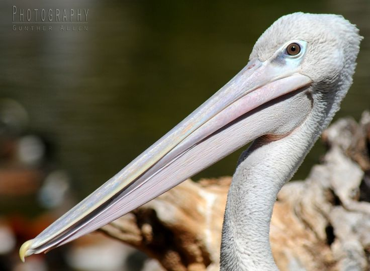 """""""The Pelican's Bill"""" - photographed by Gunther Allen  The pelican bill is the bird's most distinctive feature. But can a pelican's bill hold more than it's belly can? I'll answer that with this famous limerick written by humorist Dixon Lanier Merritt in 1910."""
