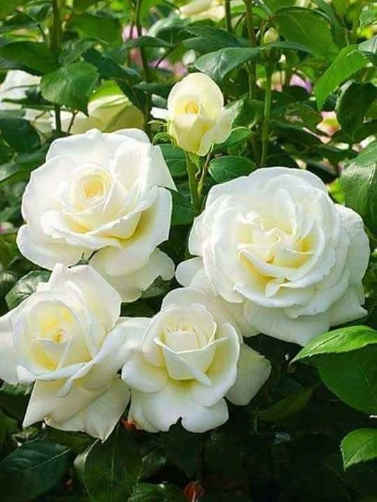 White beautiful roses.
