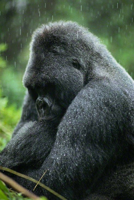 17 Best Images About Gorgeous Gorilla On Pinterest