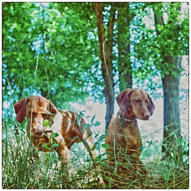 Vizsla's on the hunt for anything that moves. Maryland film photographer.