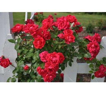 De mooie en gezonde klimroos Paul's Scarlet is een grootbloemige roos. De roos laat zich makkelijk leiden langs rozenbogen, berceau, prieel, pergola, veranda