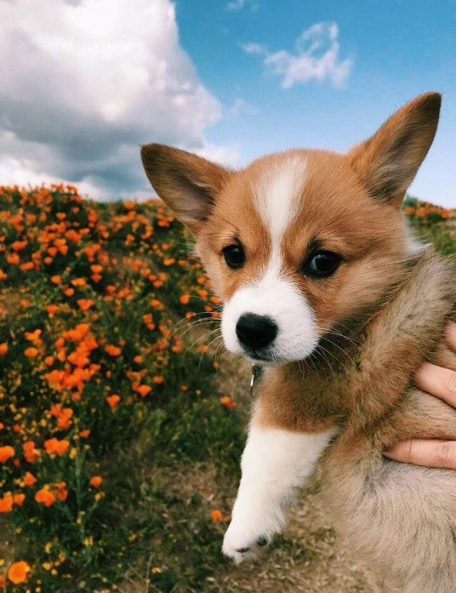 Corgi Pup Do You Love Cute Dogs Like This Follow Our