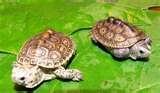 Diamond Back Terrapin - My favorite kind of turtle