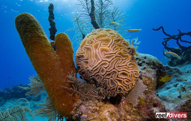 Caribbean Coral Diaries – Diploria labyrinthiformis