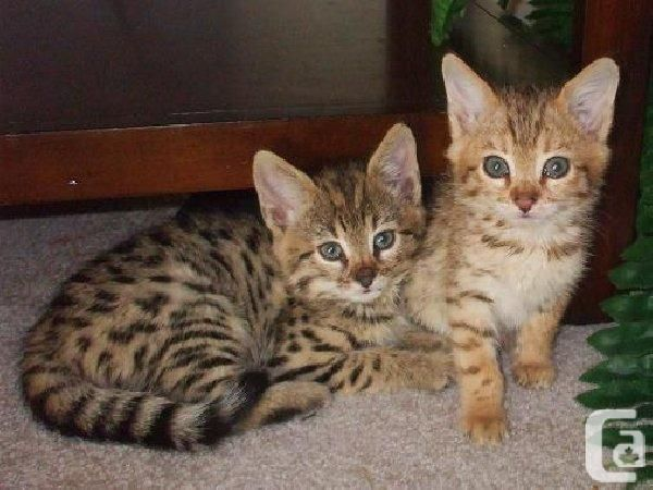 Very exotic serval, savannah, caracal and bengal kittens for sale  We sell very…