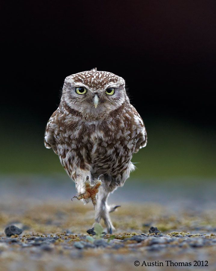 OWLympics by Austin Thomas. A wild Little Owl getting some final training in preparation for the games ahead...Thomas Photography, Little Owls,  Great Gray Owls, Austin Thomas, Great Grey Owls, Baby Animal, Burrowing Owls,  Strix Nebulosas, Birds