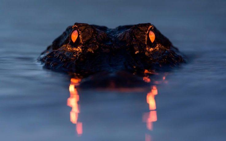 Los 'demoníacos' ojos de un caimán fotografiado al atardecer en el Myakka River State Park, Florida, EEUU (Larry Lynch, 2017)