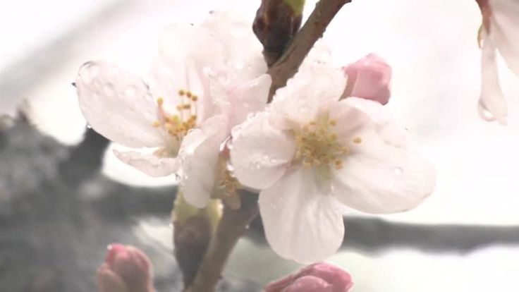 Ensimmäiset kirsikankukat puhkesivat Japanissa – video | Yle Uutiset | yle.fi
