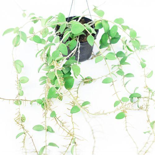 86 Best Hoya Plants Easy Care Flowering Beauties Images