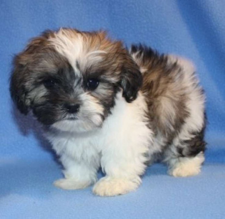 Hoobly Adorable Fuzzy Wuzzy Pups Shichon Puppies Zuchon