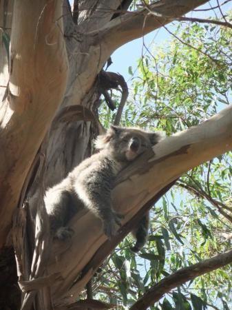 Koala sleeping - just how do they keep their balance??!  Kangaroo Island south Australia