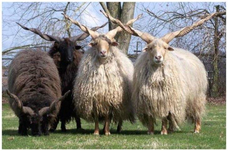 Pecora Ratzka Corna Da Guinness: Alcune Tra Le Più Spettacolari Del Regno Animale