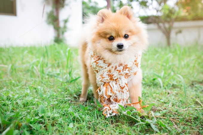 Dog pomeranian wearing a scarf lawn. by Pattarawat on @creativemarket
