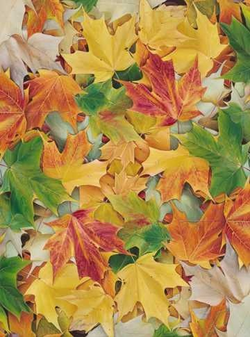 Dan Bacich - Cardinal Leaves