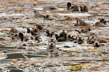 Sea otters convene in a kelp bed near Kodiak Island, Alaska.
