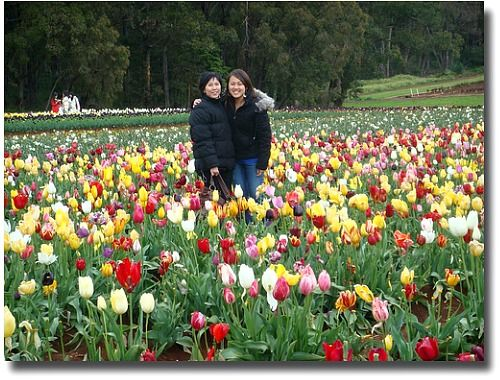 Glorious display of Tulips at Tessellars Tulip Farm on display during their Tulip Festival, Monbulk, in the Dandenong Mountains -  Melbourne, Australia compliments of http://www.flickr.com/photos/olivialoh/1678932610/in/photostream/