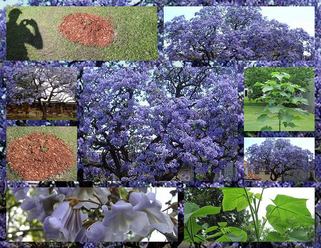 Royal Empress Tree...grows 10-15 ft per year. Explodes with rich lavender flowers that look like Orchids but smell like Jasmine. Grows as far north as Canada and as far south as Mexico.