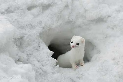 cute, cute: Cute Animal, White Animal, Snow Pictures, Creatures, Funny Animal, Snow Weasel, Winter Coats, Animal Funny, Snow White
