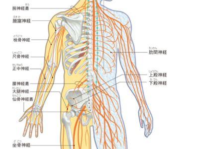 gooヘルスケア。筋肉名称図。ヒトの体の筋肉の名前についてイラスト・図とともに解説しています。
