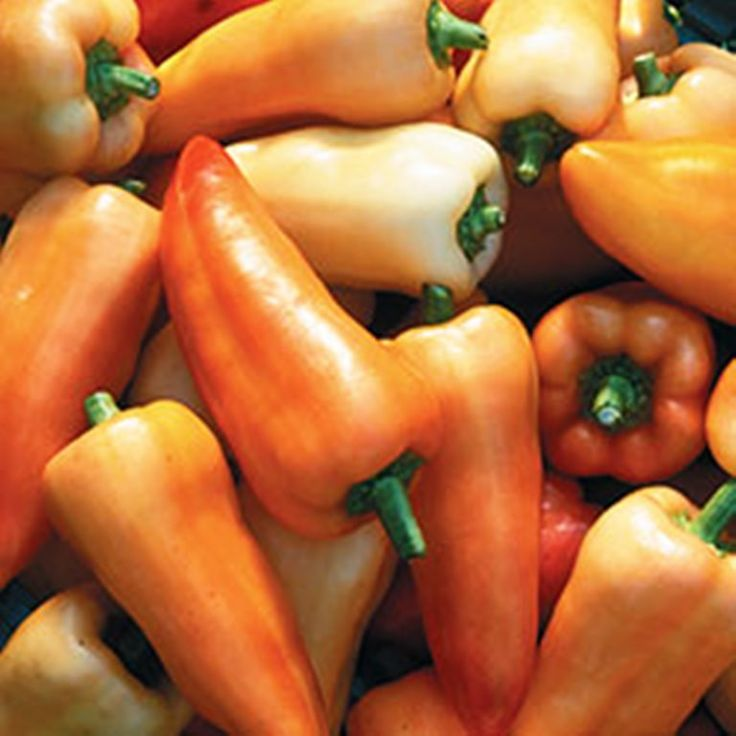 """Pepper- """"Feher Ozon Paprika"""" aka (Feherozon) (Capsicum annuum) (aka Feherozon) Originated in Hungary. Productive dwarf plants produce 5"""" long fruits that ripen from creamy white to orange to red. Exce"""