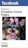 Yorkie, Yorkies, Yorkie Puppy, Teacup Yorkies, Teacup Yorkie Puppies, Michigan Yorkies, Michigan Yorkies, Michigan, Michigan Yorkie Breeder, Yorkie Puppies, Yorkie Puppy's, Yorkshire Terrier puppies, Yorkshire Terrier Puppy's, Yorkshire Terrier Puppy, Yorkie Puppies Sale Teacup Yorkies, Yorkshire Terrier Puppies for Sale, Yorkshire Terrier Puppies for Sale , Yorkshire Terriers for Sale in Jackson, MI , Yorkshire Terrier Puppies For Sale, Yorkshire Terrier For Sale in Michigan, Yorkie Puppies…