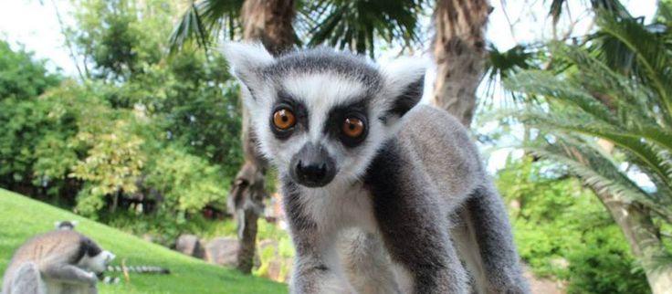 Consigue entradas baratas para Bioparc Fuengirola. Un parque zoológico en el que los animales conviven en una recreación de su hábitat natural que favorece su desarrollo a todos los niveles.