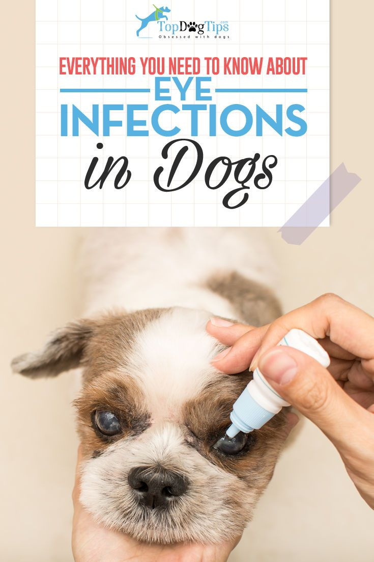 Eye Infections in Dogs: Diagnosing and Treating Dog Eye Problems. Dogs with large or bulging eyes like pugs, bulldogs and cocker spaniels are especially prone to eye infections but they can and do happen to dogs of all types. It may only happen once in a while or it could be a chronic condition. Eye infections in dogs are extremely uncomfortable for the canine and can lead to permanent blindness. #dog #eyes #infections #health #how #vets #dogs #animals #eye