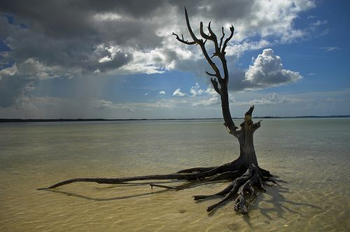 Bahamas / Harbour Island - The lone tree by  Manu Foissotte