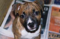 American Staffordshire terrier -  Detalle de cara de un cachorro hembra, tanto la nariz, el morro y los ojos deben ser oscuros para estar dentro del estándar oficial.